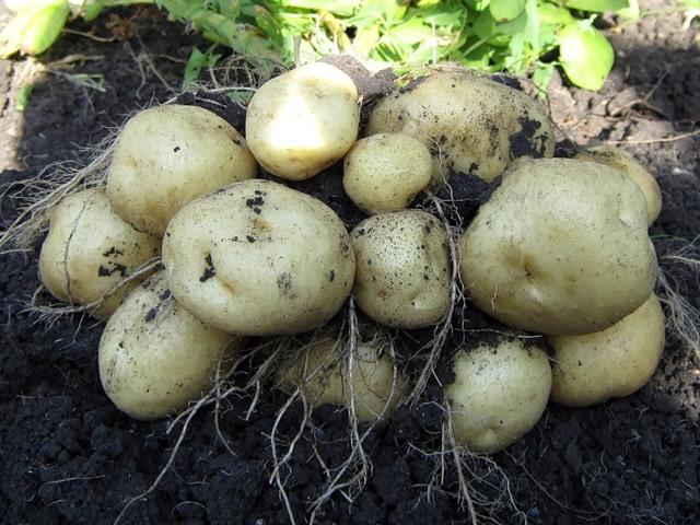 Картофель Ласунок: описание сорта, фото, отзывы, выращивание