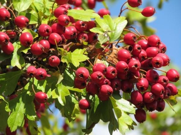 Боярышник кроваво-красный или сибирский (crataegus sanguinea): описание, применение