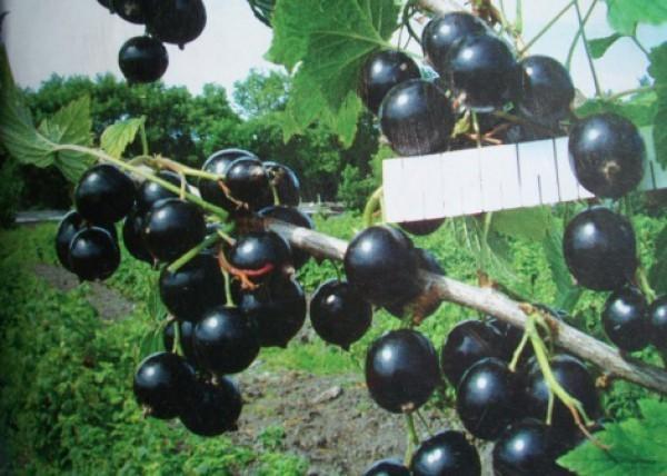 Лучшие сорта смородины для Урала: черной, красной, крупной, сладкой