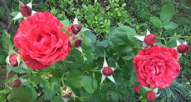 Розы чайно-гибридные: сорта, фото и описание