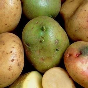 Почему зеленеет картофель при хранении на свету