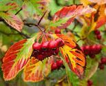 Боярышник сливолистный (crataegusprunifolia): описание, фото, посадка и уход