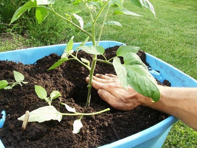 Органическая подкормка для помидоров