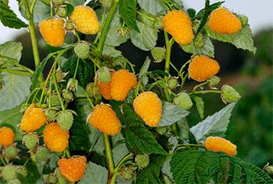 Описание ремонтантной малины Золотая Осень