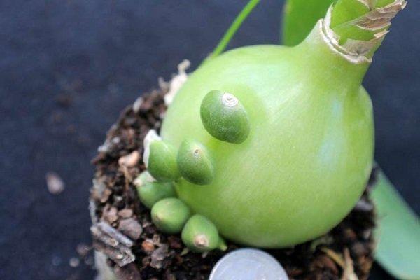 Индийский лук: выращивание, посадка, размножение, как цветет, фото