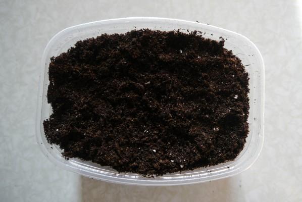 Посев Цинерарии на рассаду