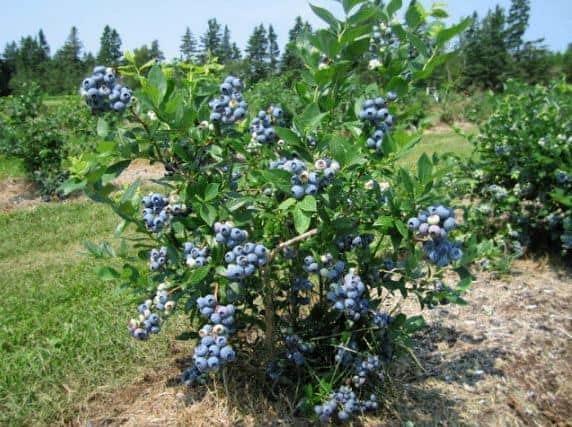 Голубика Спартан: описание сорта, отзывы, фото