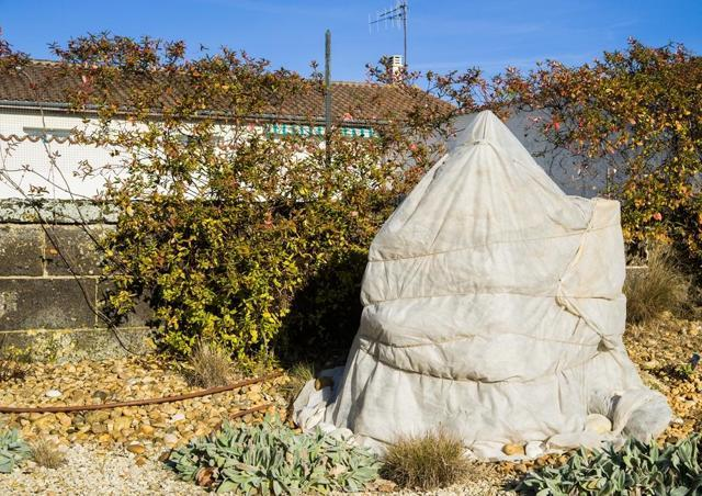 Гортензия метельчатая Фантом: описание, фото, отзывы, посадка и уход