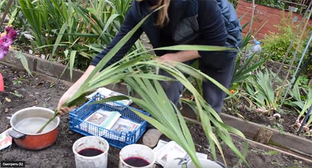 Уборка гладиолусов: правила подготовки клубнелуковиц к зиме