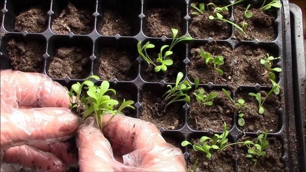 Выращивание георгина Помпонная