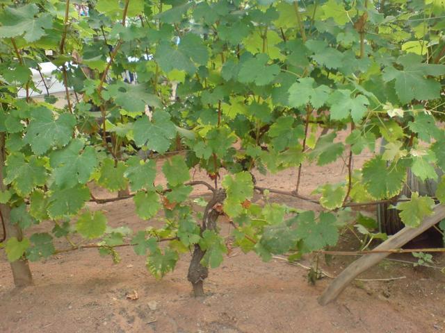 Виноград Ланселот: фото, описание сорта, отзывы, видео