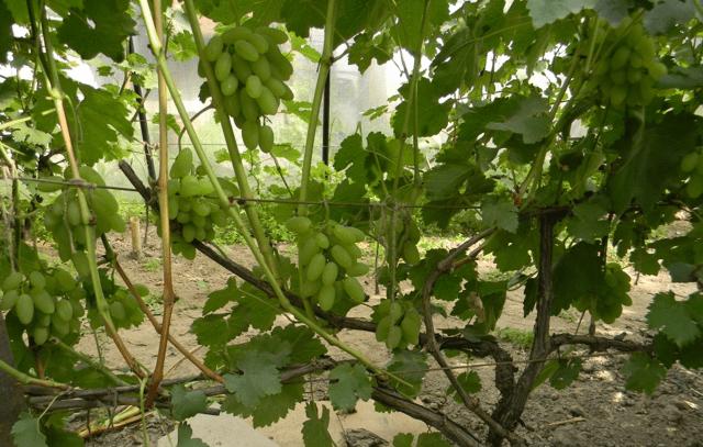 Виноград Тимур: описание сорта, фото, отзывы