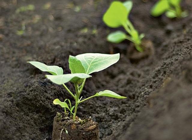 Как самим вырастить рассаду баклажан