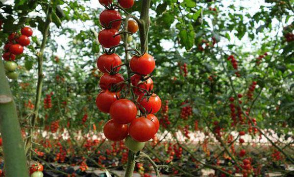 Рассада томатов черри