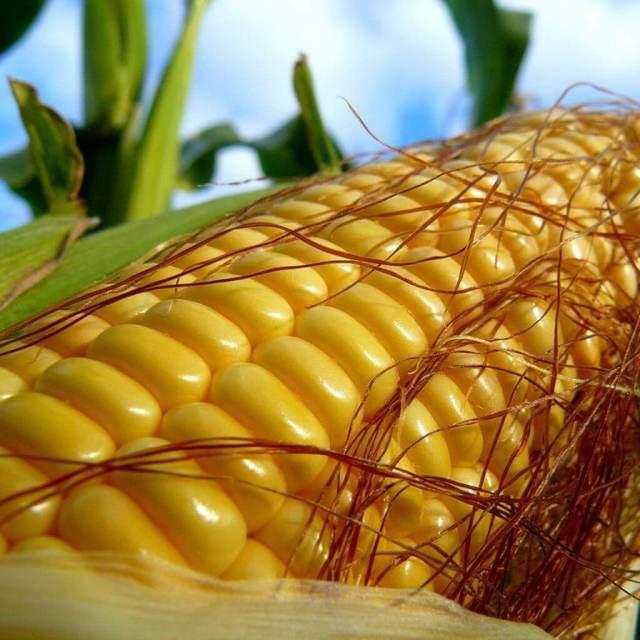 Кукуруза: к какому семейству относится, откуда завезли, описание растения