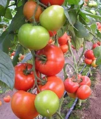 низкорослые сорта томатов для теплицы устойчивые