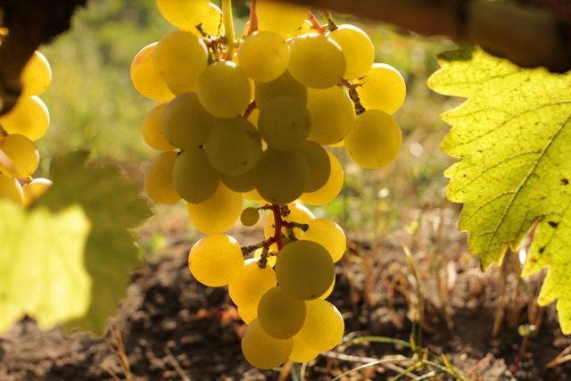 Виноград Галбена Ноу (Золотинка): фото, описание сорта, отзывы
