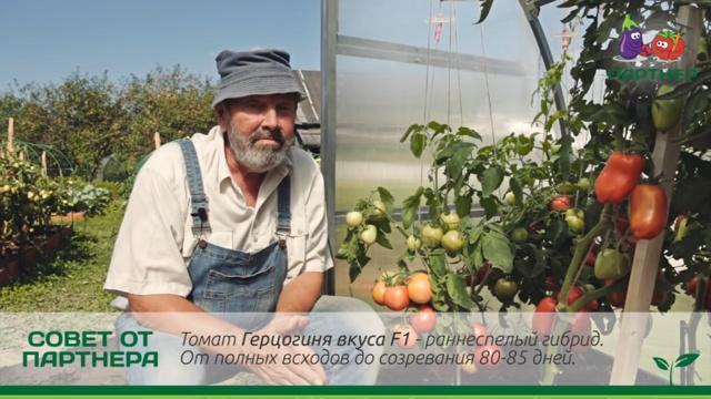 Томат Герцогиня вкуса: характеристика и описание сорта, отзывы, фото