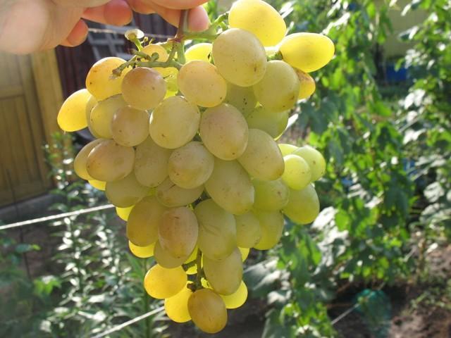 Виноград Галахад: описание сорта, фото, отзывы, видео