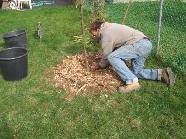 Как правильно посадить грушу весной, летом в открытый грунт: пошаговое руководство, когда сажать, на каком расстоянии, как ухаживать