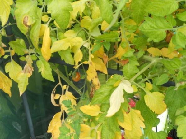 Почему желтеют листья томатов в теплице