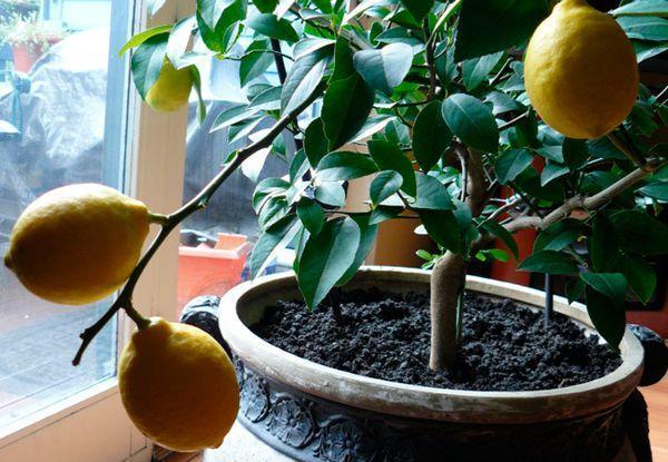 Пересадка лимона: зачем нужна, как правильно пересадить