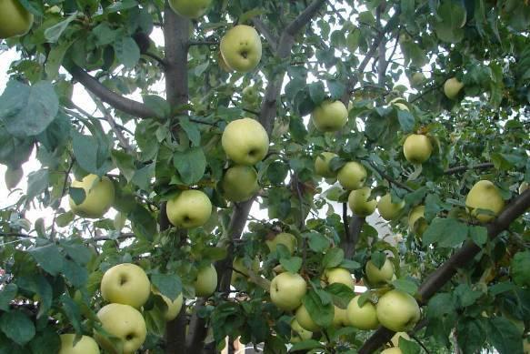Яблоня Антоновка: описание, фото, отзывы, посадка