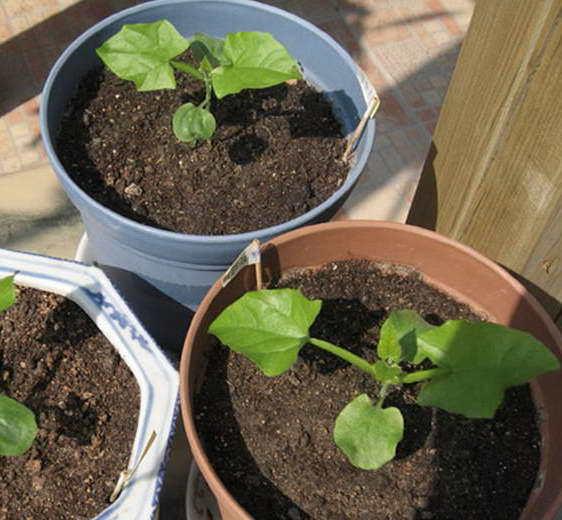 Выращивание Тунбергии из семян