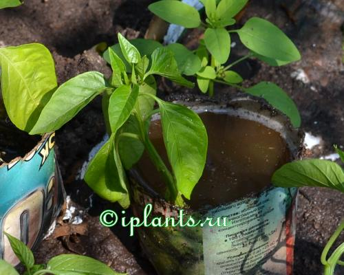 Грунт для посадки перцев на рассаду