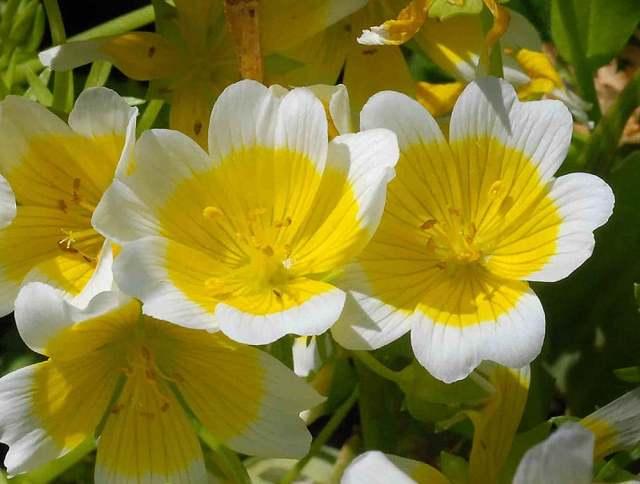 Лимнантес: выращивание из семян + фото