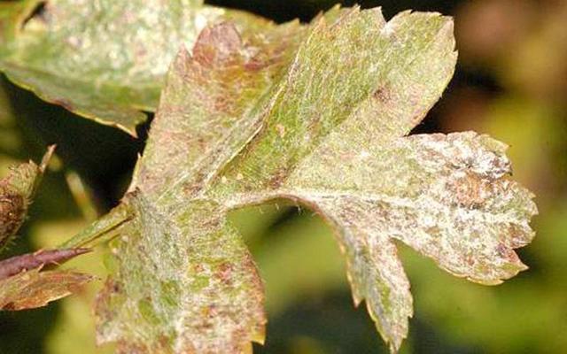 Боярышник петушья шпора (crataegus crus-galli): описание, посадка и уход, фото