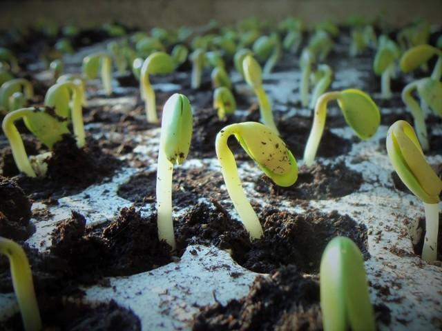 Как подготовить семена перца перед посадкой