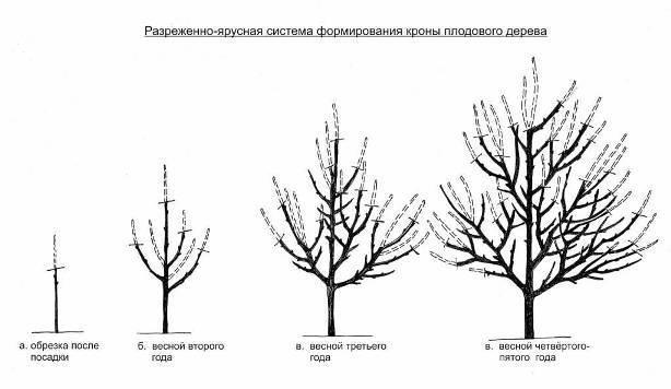Яблоня Спартан: описание сорта, фото, отзывы, посадка