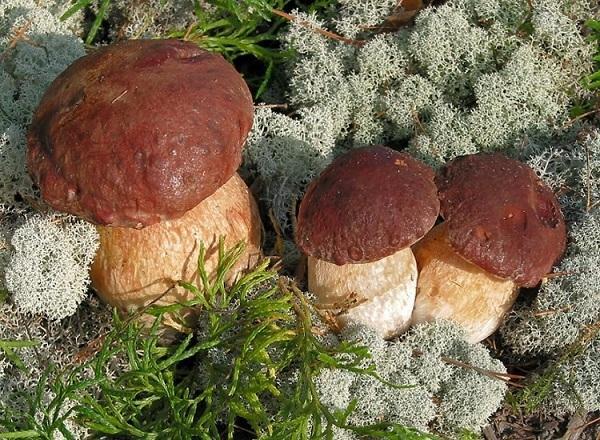 Выращивание белых грибов в промышленных масштабах круглый год