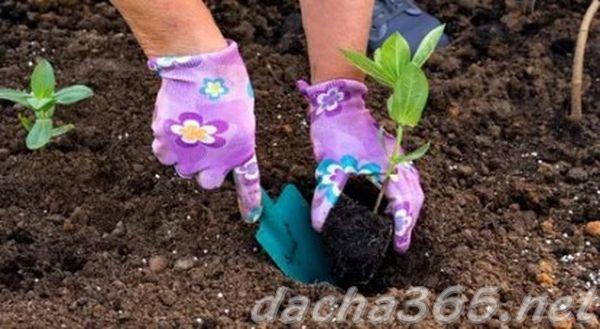Циния: выращивание из семян, когда сажать на рассаду