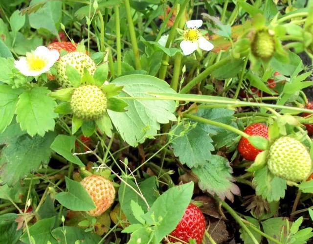 Клубника Остара: описание сорта, фото + отзывы садоводов