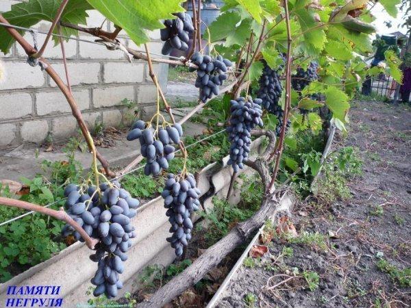 Виноград Памяти Негруля: описание сорта, фото, отзывы