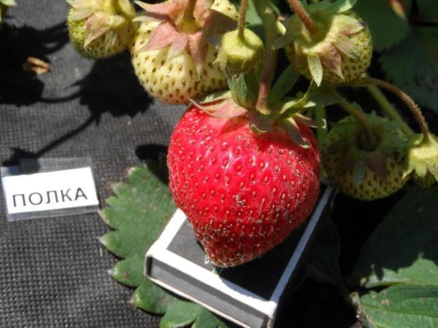 Клубника Полка (Полька): описание сорта, фото, отзывы садоводов