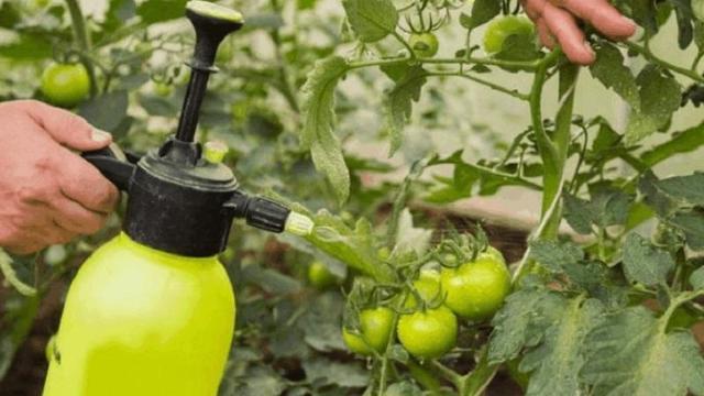 Полив рассады помидоров йодом