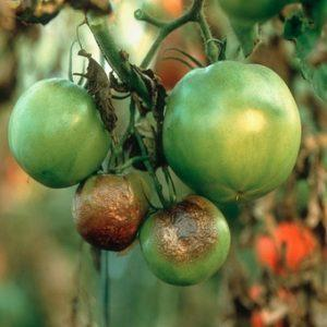 Томат Титан: характеристика и описание сорта