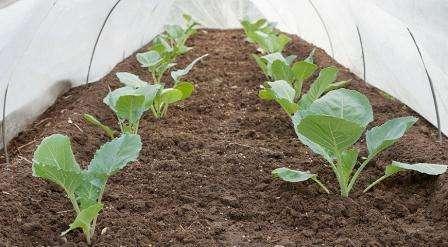 Когда сеять семена июньской капусты на рассаду