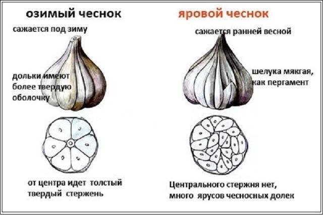 Посадка лука осенью под зиму на Урале: семейного, озимого, сроки, на южном Урале