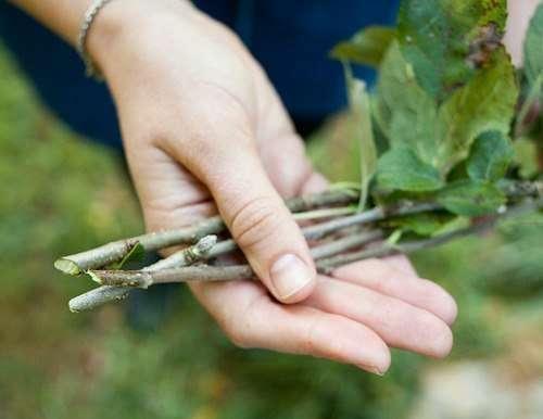 Размножение груши черенками, отводками: летом, осенью, как вырастить саженцы, как размножить колоновидную грушу