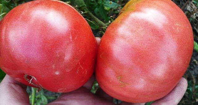 Томат Дикая роза: характеристика и описание сорта