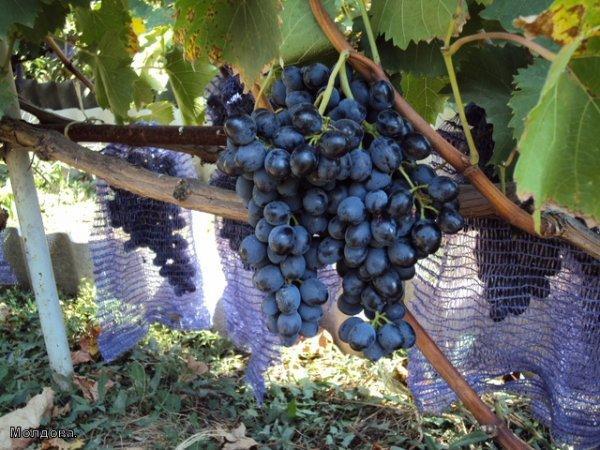 Виноград Ягуар: описание сорта, фото, отзывы.