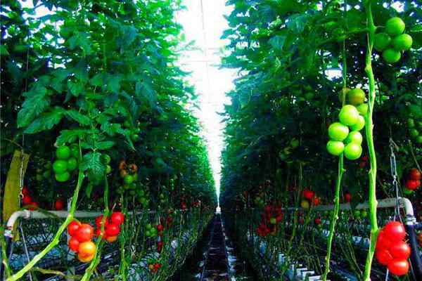 Рассада томатов фиолетовая