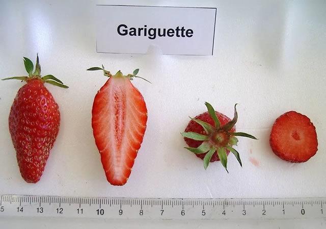 Клубника Гаригуэтта: описание сорта, фото, отзывы