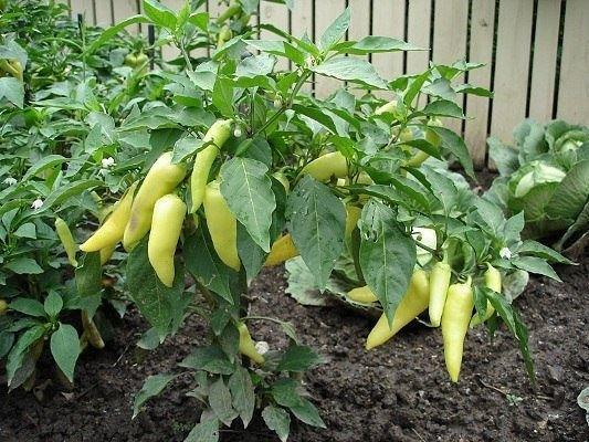 Подкормка перцев при выращивании в теплице