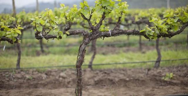 Виноград Фурор: описание сорта, фото, отзывы
