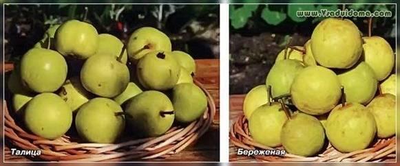 Груша Таврическая: описание сорта, фото, отзывы, выращивание